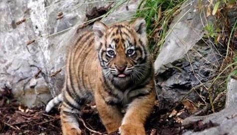 Dublin Zoo Tiger Cub